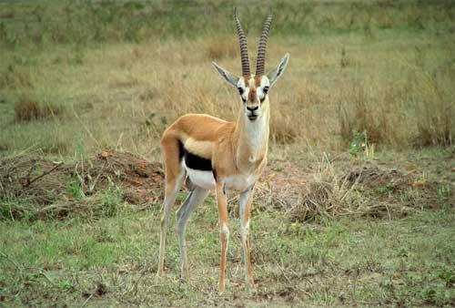 Gazelle intense debt repayment