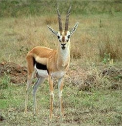gazelle intensity a long term solution?